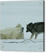 A Polar Bear Lolls On His Back While Acrylic Print