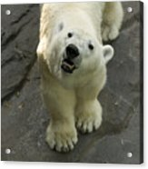 A Polar Bear Looks Up At Its Observers Acrylic Print