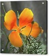 A Poppy Unfurled  Acrylic Print