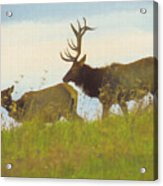 A Portrait Of A Large Bull Elk Following A Cow,rutting Season. Acrylic Print