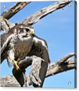 A Prairie Falcon Against A Blue Sky Acrylic Print