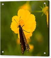 A Queen Butterfly At The Lincoln Acrylic Print