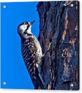 A Rare Bird Acrylic Print