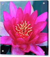 A Red And Yellow Water Lily Flower Acrylic Print
