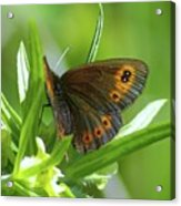 A Red Butterfly Perching  Acrylic Print
