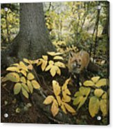 A Red Fox On Isle Royale In Lake Acrylic Print