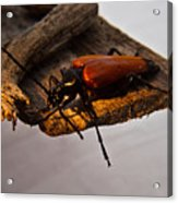 A Red Glowing Beetle Acrylic Print
