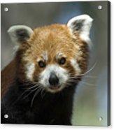A Red Panda Ailurus Fulgens At Zoo Acrylic Print