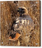 A Red Tailed Hawk  Acrylic Print