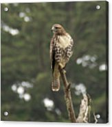A Red-tailed Hawk Juvenile Acrylic Print