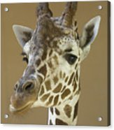 A Reticulated Giraffe Makes A Slanted Acrylic Print