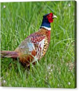 A Ring-necked Pheasant Walking In Tall Grass Acrylic Print
