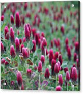 A Riot Of Red Clover Acrylic Print