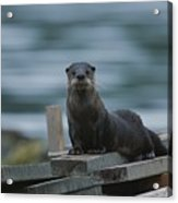A River Otter Perched On Planks Of Wood Acrylic Print