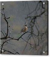 A Robin In Spring Snowfall  Acrylic Print