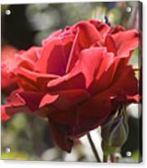 A Rose By Any Other Name-- Acrylic Print