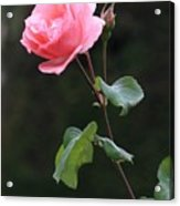 A Rose For Rodin Acrylic Print