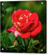 A Rose In Los Gatos Acrylic Print
