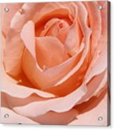 A Rose Is A Rose By Any  Name .... Acrylic Print