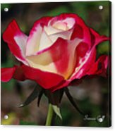 A Rose Is A Rose II Acrylic Print