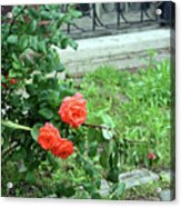 A Rose Is Down Acrylic Print