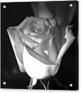 A Rose Acrylic Print
