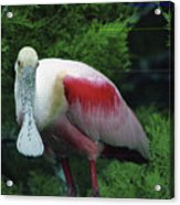 A Roseate Spoonbill Along The Gulf Acrylic Print