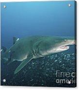 A Sand Tiger Shark Above A School Acrylic Print