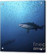 A Sand Tiger Shark And School Of Cigar Acrylic Print