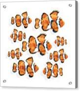 A School Of Clown Fish Acrylic Print