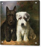 A Scottish And A Sealyham Terrier Acrylic Print