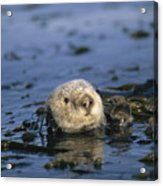 A Sea Otter Floats In A Tangle Of Kelp Acrylic Print by Paul Nicklen