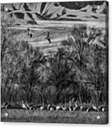A Sedge Of Sandhill Cranes Acrylic Print