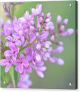 A Shade Of Purple, A Shade Of Spring Acrylic Print