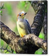A Shady Woodland Bird Red-bellied Woodpecker Acrylic Print