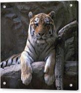 A Siberian Tiger At Omahas Henry Doorly Acrylic Print