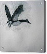 A Single Goose Acrylic Print