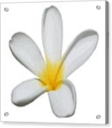 A Single Plumeria Flower Isolated Acrylic Print