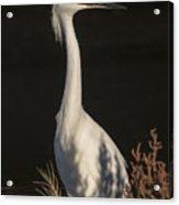 A Snowy Egret Portrait Acrylic Print