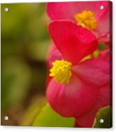 A Soft Red Flower Acrylic Print