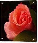 A Soft Rose  Acrylic Print