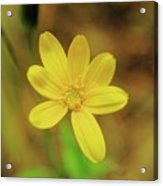 A Soft Yellow Flower  Acrylic Print