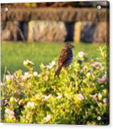 A Sparrow Surveys Acrylic Print