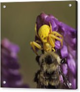 A Spider Eats A Bumblebee While Perched Acrylic Print