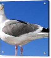 A Splendid Seagull Acrylic Print