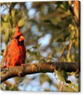 A Spot Of Red In The Trees Acrylic Print