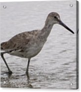 A Spotted Sandpiper Acrylic Print