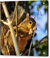 A Squirrel's Feist Acrylic Print