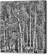 A Stand Of Aspen Trees In Black And White Acrylic Print