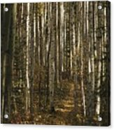 A Stand Of Birch Trees Show Acrylic Print